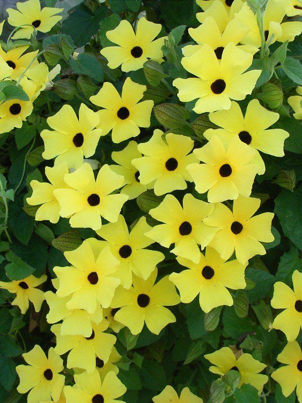 Mustasilmäsusanna 'Sunny Susy Yellow'