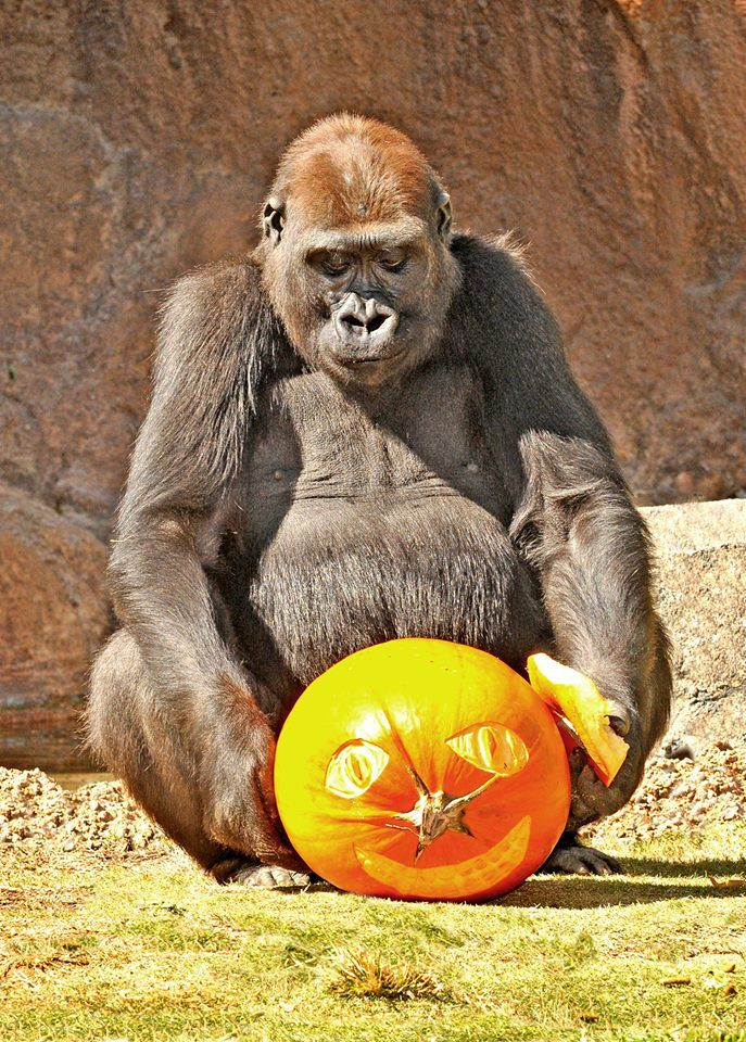 Come to the zoo on October 18-19 & 25-26 for trick-or-treating, Halloween photo opp's, spooky crafts, kids karaoke, up-close encounters with creepy, crawly animals, and much more! http://www.pinterest.com/TakeCouponss/la-zoo-coupons/ La zoo coupons