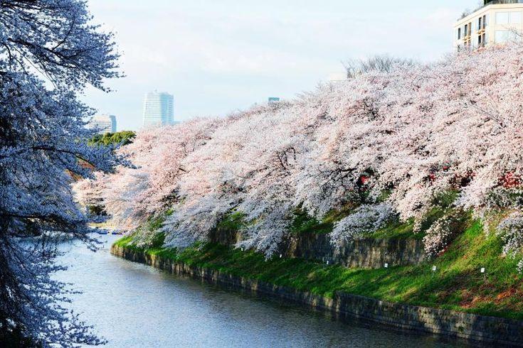 「千鳥ヶ淵」都内有数のお花見スポット TOKYO   [ 土手を埋め尽くす千鳥ヶ淵の桜 ]  土手から溢れるような桜です。