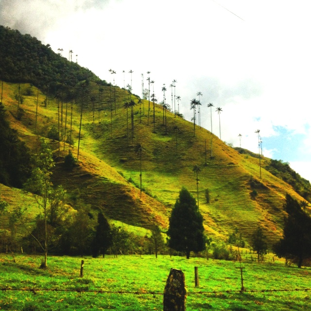 Palma de Cera Rio del Quindio Colombia