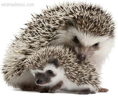 baby! it's so cute. baby with mommy--virtually the national mascot of England--they are absolutely potty about hedgehogs!