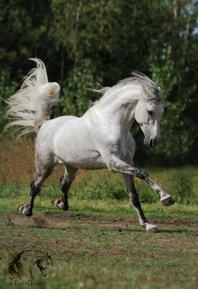Pretty grey white horse running with his heels kicked up!