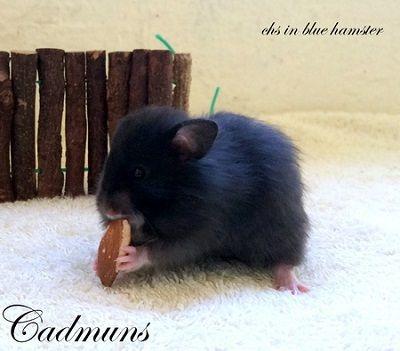 Cadmuns chs in blue hamster