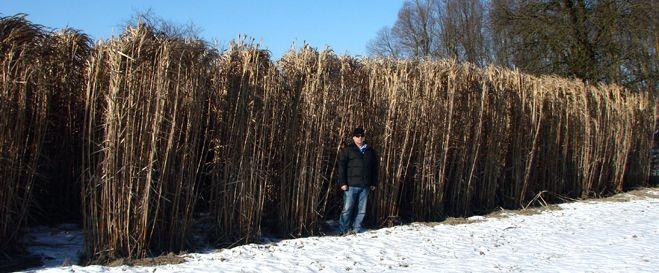 Miscanthus Giganteus Winter Romania