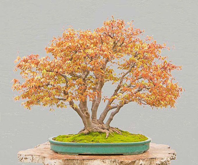 168 Best Images About Quot Fall Ing Bonsai World Quot On Pinterest