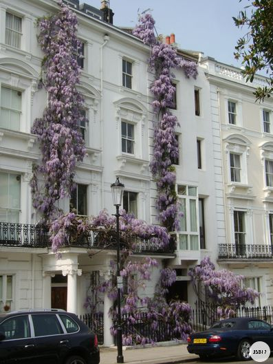 London town house in wisteria