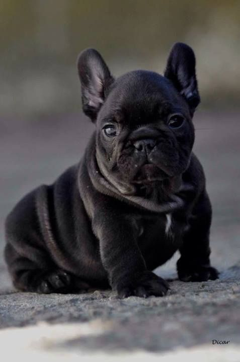Fat baby Frenchie French #Bulldog #puppy #dog | Puppy Luv ...