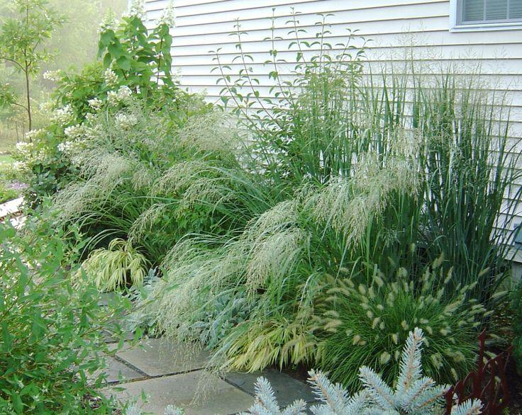 Plant Profile: Panicum virgatum cvs