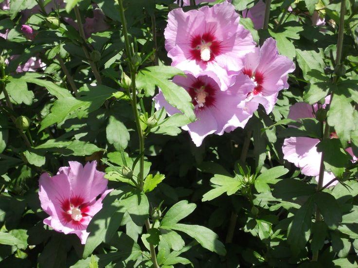 Rose of Sharon - Top 12 Fast Growing Shrubs: Flowering and Non-flowering - EnkiVillage