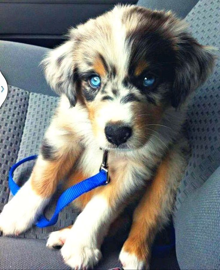Conoce las principales características del perro Pastor Ovejero Australiano. Como se comportan, quien puede tener