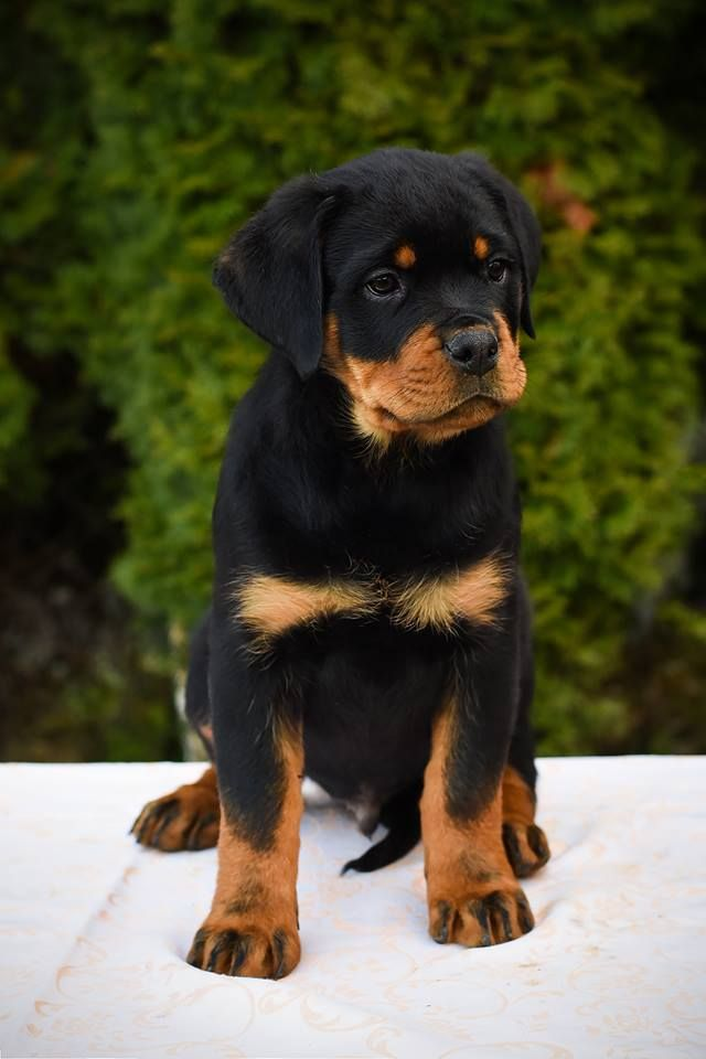 Diego The Rottweiler Puppy Is The Perfect Combination Of