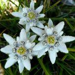 édelweiss , emblème de l'Autriche , elle représente les Haflinger :))