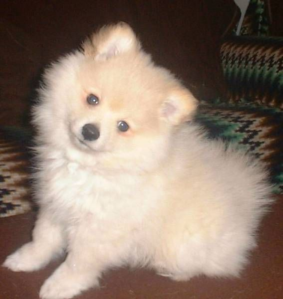 """Click visit site and Check out Best """"German Spitz"""" T-shirts. This website is outstanding. Tip: You can search """"your name"""" or """"your favorite shirts"""" at search bar on the top."""