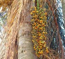 Palmeira Jerivá ou Jeribá ( Syagrus romanzoffiana)