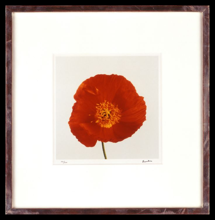 Lord Snowdon | Poppy | Limited Edition Photograph, part of a set of 8 | 10 x 8 inches | £1,450 (for the set, unframed)  These photographs come as a portfolio; there are eight photographs in the set. Each image has been signed by Lord Snowdon.