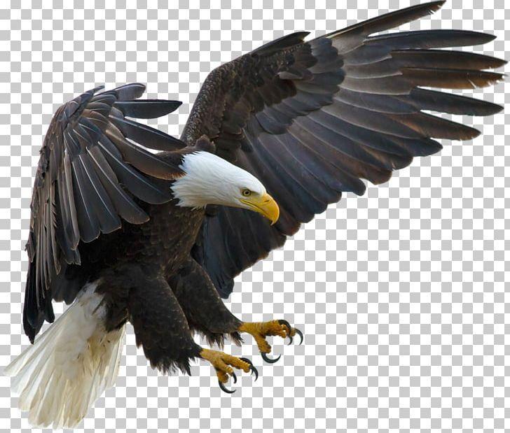 Bald Eagle Bird Tawny Eagle Golden Eagle Png Eagle Bird Bald Eagle Eagle Images