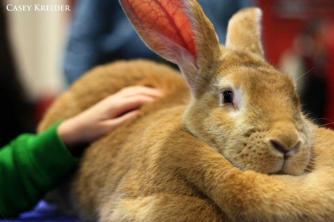 Flemish Giant Rabbits For Sale | The Flemish Giant - LancasterOnline.com