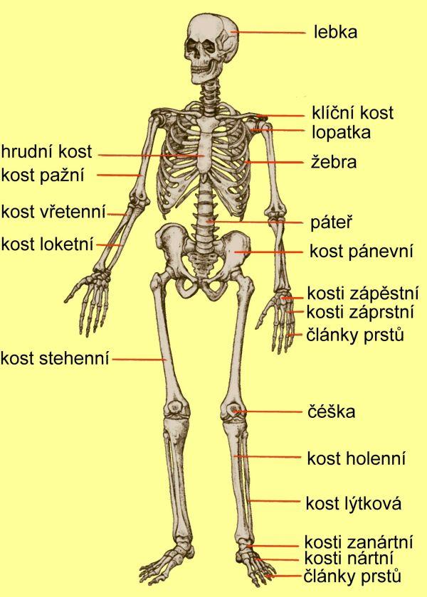 obrazek kostry - Hledat Googlem