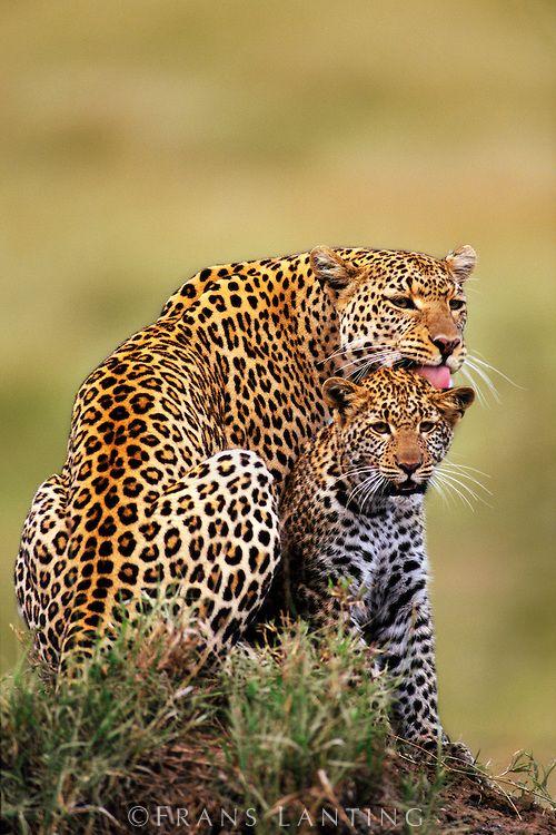Leopardo acaricia seu filhote,  Panthera pardus, na Reserva Nacional Masai Mara, no Quenia.