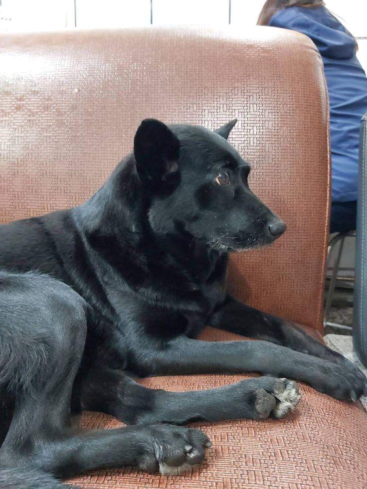 Pin by Nancy Chen on 妞妞 in 2020 Labrador, Dogs, Labrador