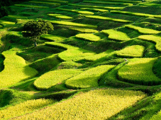Rice fields in Chiba, Japan