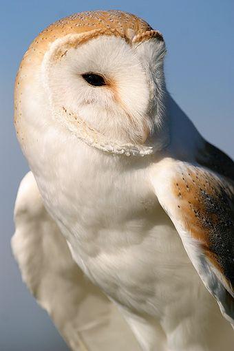 Barn Owl (Brazil)