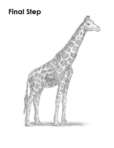 Giraffe Drawing Final
