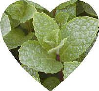 This spearmint has captured our hearts with a large leaf on a robust plant that is the basis for that little ole southern drink, the Mint Julep. Kentucky Colonel Spearmint can be used in any recipe calling for spearmint, including mint sauce and mint jelly.