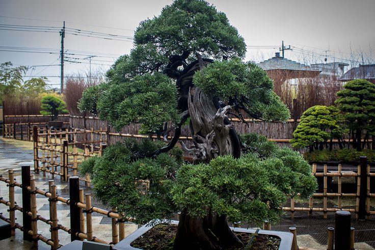 bonsai trees, japan, omiya bonsai art museum, saitama, japan