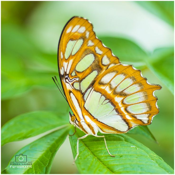 Yellow, Green and Beige Butterfly, Photo by Monika Lauber