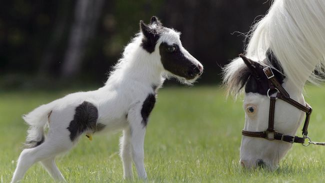 Minihästar kan vara mindre än hundar.