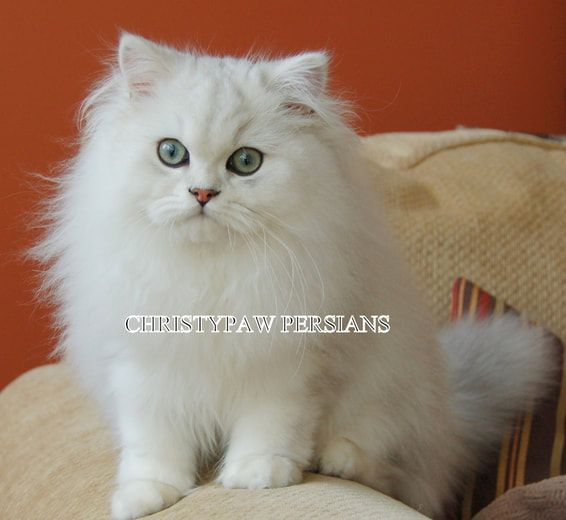 Christypaw Persians Silver Shaded Silver Chinchilla Golden Blue Golden Persian Kittens For In 2020 Persian Kittens Persian Cats For Sale Persian Kittens For Sale
