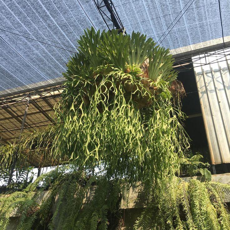 nagoya japanさん(@take_hshshs)のInstagramアカウント: 「おっきいね〜♪ ・ #コウモリラン #ビカクシダ #platycerium #staghornferns」