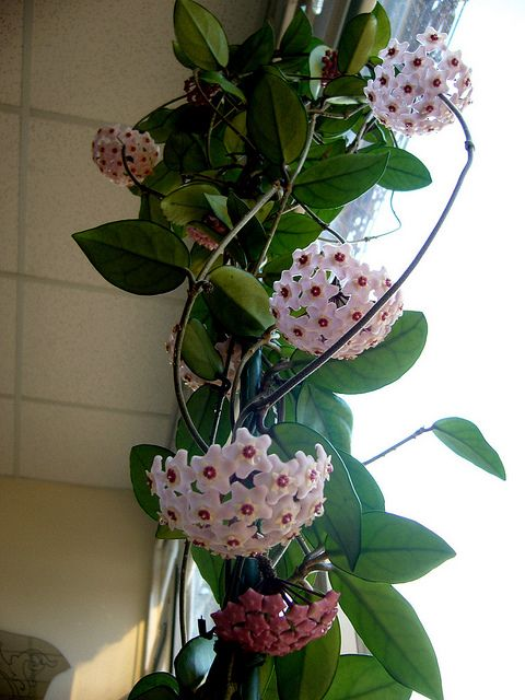 Hoya Carnosa- this plant it is a succulent with upside down flower clusters. It is so cool!