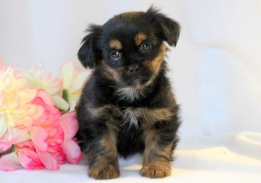 Shorkie Tzu puppy for sale in MOUNT JOY, PA. ADN-52599 on PuppyFinder.com Gender: Female. Age: 8 Weeks Old