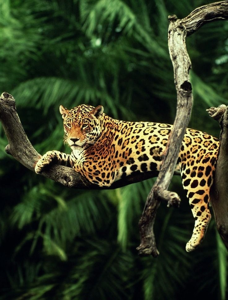 Jaguar wilde dieren I'd love to see this big cat in the wild! He looks so completely relaxed.