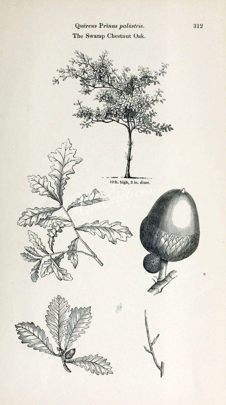 Swamp Chestnut Oak (black-and-white)      ...