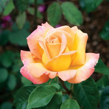 Peace Rose.Rosa 'Peace' is one of the most beloved roses. It's also the most widely planted hybrid tea in the world. The glowing flowers start as golden buds that open to huge yellow blooms edged in pink and set against glossy, dark green foliage. The shrubby, vigorous plants grow 5 feet tall and 3 feet wide. Zones 5-9