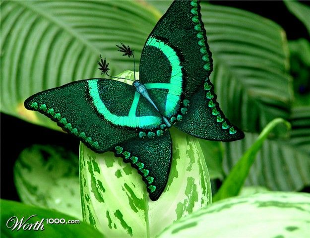 "Rare ""Wings of Love"" Butterfly...looks like a Peace sign"