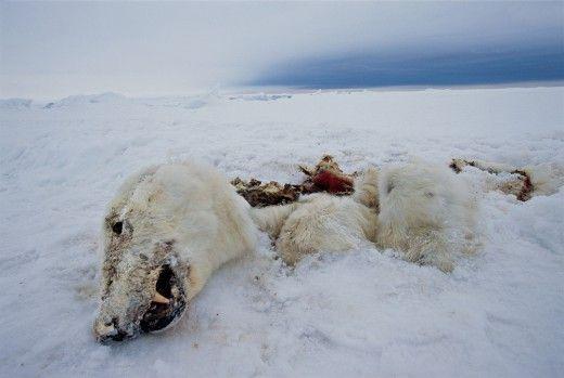 Νikolas: Οι πολικές αρκούδες λιμοκτονούν στη Νορβηγία