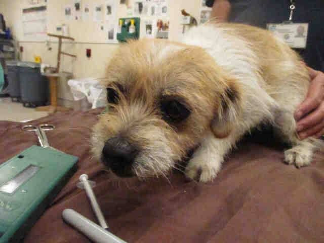 TRANSFERRED TO ADOPTION!! #A1184105 I am a female, white and red Terrier mix. The shelter staff think I am about 1 year old. I have been at the shelter since Apr 01, 2015. If I am not claimed, after my stray holding period, I may be available for adoption on 04/06/2015.... Riverside County Animal Services.  https://www.facebook.com/photo.php?fbid=10204944744195919&set=pb.1160364024.-2207520000.1428081973.&type=3&theater