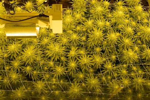Marijuana odor from cultivation center continues to seep into north Boulder