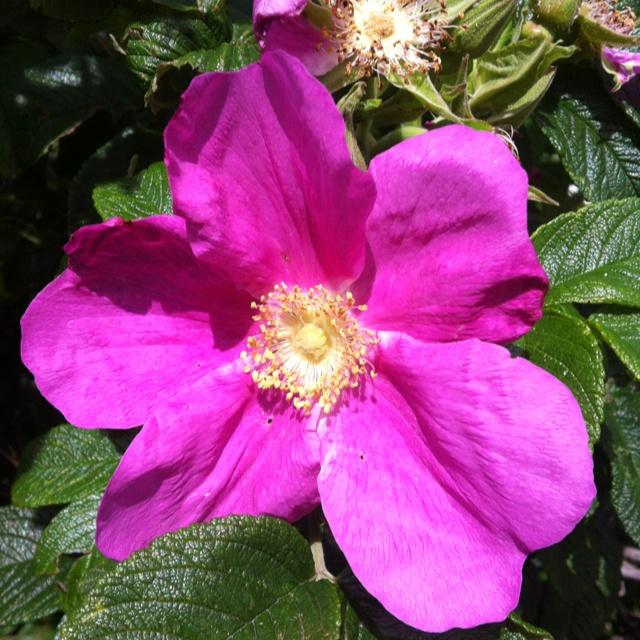 Hybenbusk i blomst