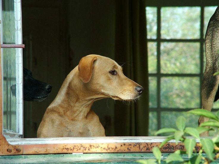 Si tu perro sufre cuando te vas de casa, te animamos a que leas estos consejos útiles que nos ofrecen nuestros amigos de Voran Educadores Caninos.