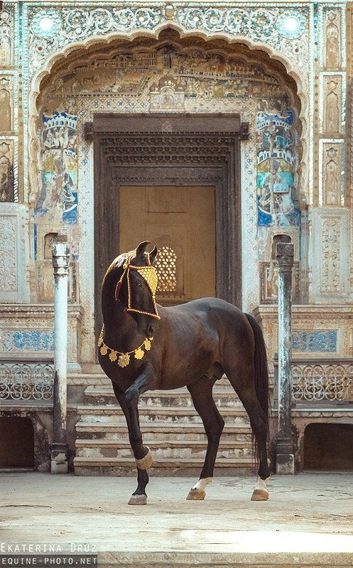 *Marwari stallion, NAAGRAJ, owner Thakur Prithviraj Singh, in Rajasthan, India. NAAGRAJ posing in Old Haveli Yard, India. Photographer: Ekaterina Druz, Horse Photography. STUNNING!!!❤️