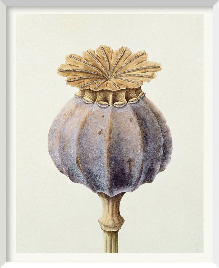 Brigid Edwards - Opium Poppy Seed Head 1999, watercolour on vellum 38.1 x 30.5 cm