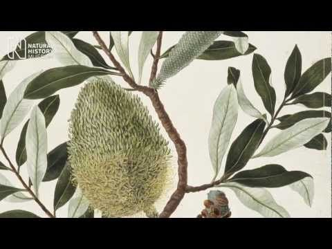 Australia's wildlife as recorded by artists on the Endeavour and First Fleet voyages in the late 1700s.
