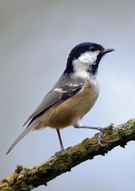 It looks more like a Chick-a-dee than a coal tit....  photo by Mark Hughes