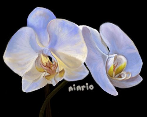 """ninrio:  """" 30 day drawing challenge day 17 - Fav plant  White Orchid!  """""""