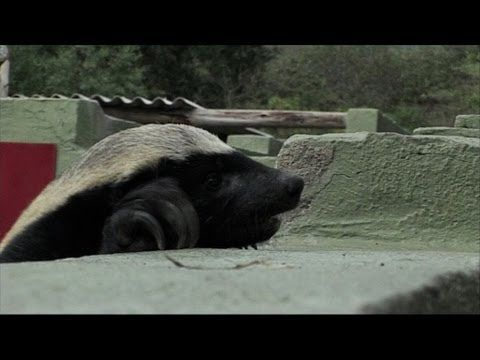 Clever Honey Badger Escaping (Video)